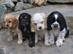 cocker spaniel colors 25 best ideas about spaniels on spaniel