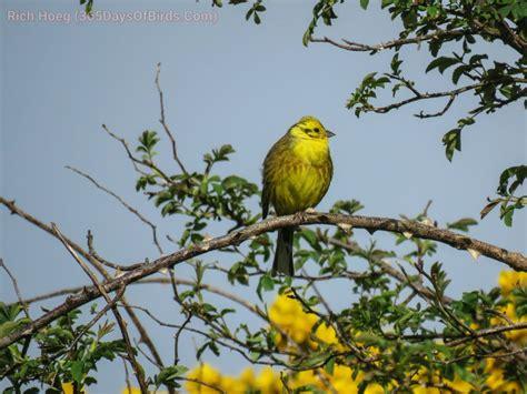 the yellow birds of scotland 365 days of birds