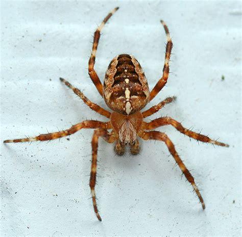 Garden Spider Washington State Cross Spider Araneus Diadematus Bugguide Net