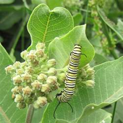 Stems And Foliage Of A Potato Plant - common milkweed weekly weeder 10