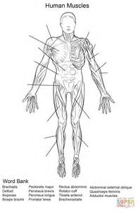 anatomy coloring pages muscles muscles human coloring pages