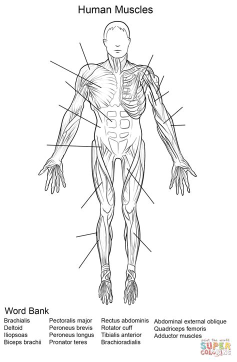 Human Muscles Front View Worksheet coloring page   Free