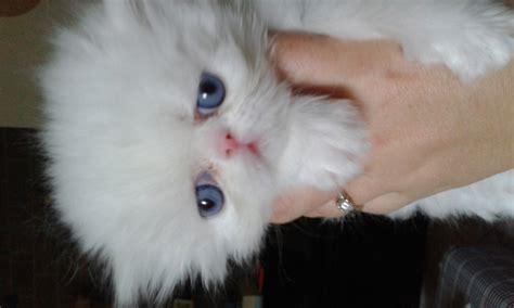 gatti persiani gatti persiani bianchi occhi azzurri animali cuccioli