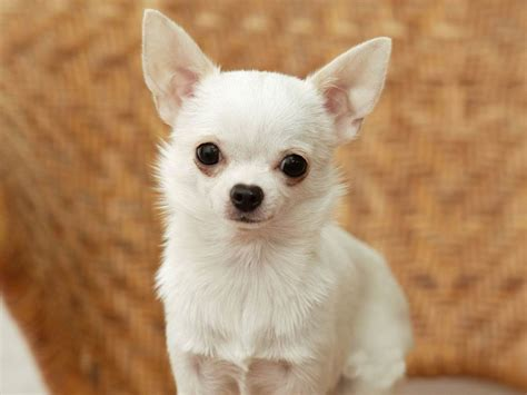 chiwawa puppies the in world chihuahua dogs