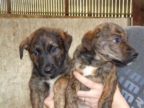 brindle puppies bullmastiff boxer mix breeds picture