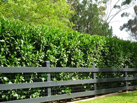 20 sweet viburnum dense fast screen tree plants garden ebay