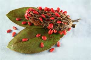 magnolia seed pods tips for growing magnolias from seed
