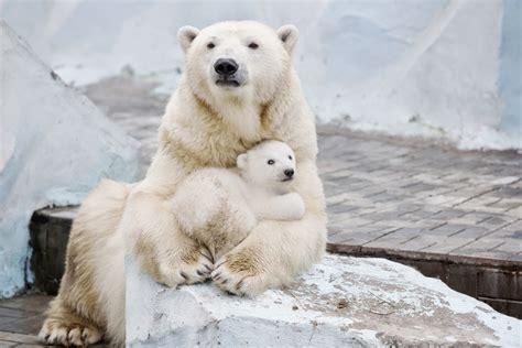 two polar bears in a bathtub polar bear cub nestled with mother will fill your heart