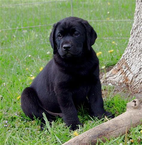 golden retriever black lab mix puppies golden retriever black