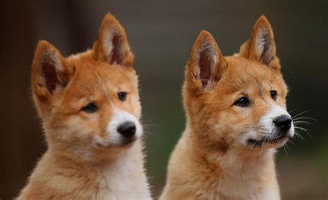 dingo puppy dingo zoos