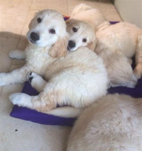 golden retriever puppies trade me dogs page 3 the pbh network