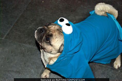 pug acronym pug want cookie ruffington post