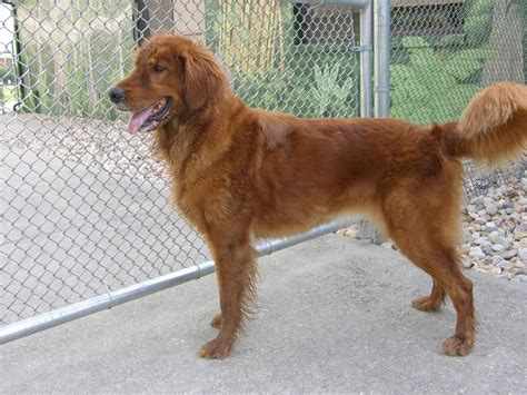real golden retriever real golden retriever canis lupus hominis