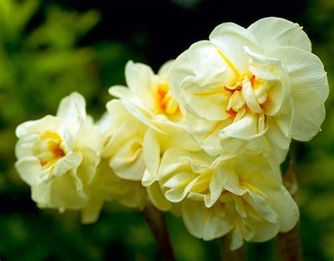 Ideas For Daffodil Varieties Design Daffodil Plants Daffodils