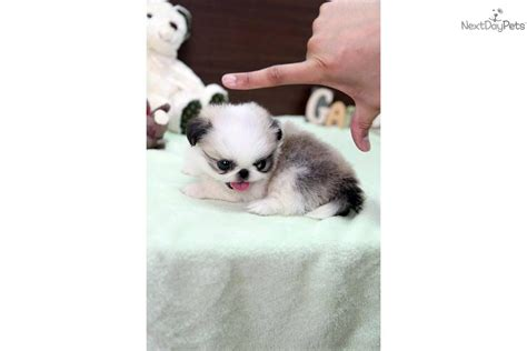 teacup pekingese puppies for sale pomeranian and pekingese for sale white teacup pomeranian puppies in breeds picture