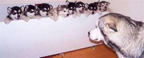 husky puppy care siberian husky puppy health care food