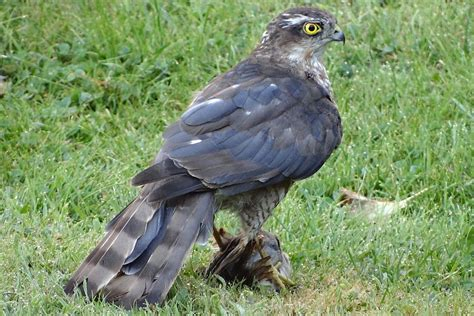 what do backyard birds eat protect backyard birds from hawks