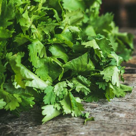 growing cilantro   grow harvest   fresh cilantro