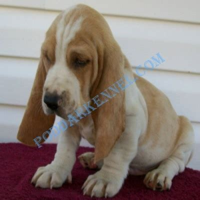 basset hound puppies houston best 20 basset hound for sale ideas on basset hound breeders bassett