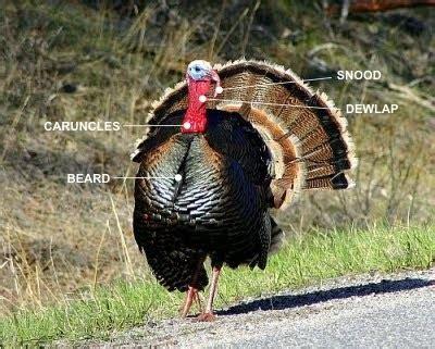 how to tell male or female wild turkey wild turkey fever about wild turkeys