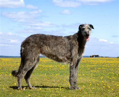 tallest breed breeds www imgkid the image kid has it
