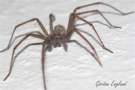 giant house spider tegenaria duellica giant house spider
