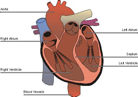 4 sections of the heart the heart structure diagram new calendar template site