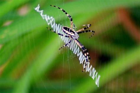 Garden Spider Definition Garden Spider Definition Meaning
