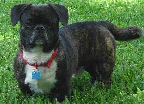 designer dogs american bullnese designer dogs breed standards
