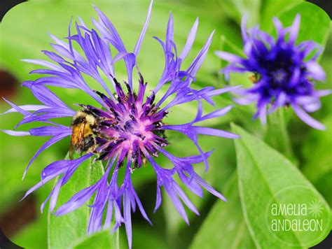 Perennial Purple Flower 171 Amelia Andaleon S Blog Purple Garden Flowers Identification