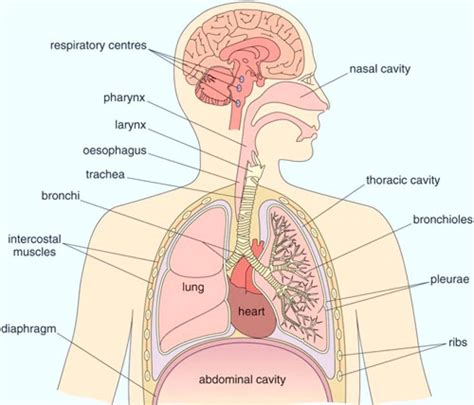 Diagram Respiratory Tract Of Earthworm Human Anatomy Picture Diagram Human Airway Diagram