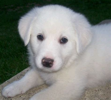 great pyrenees short hair 1000 images about mastiff on pinterest sheep dogs big