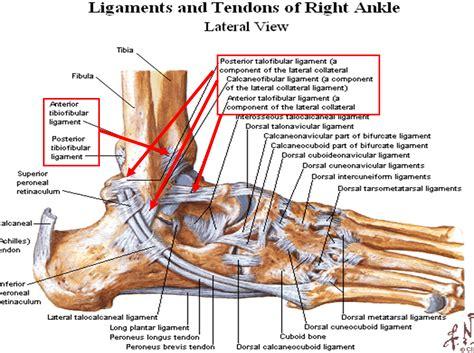 ligament diagram a about a