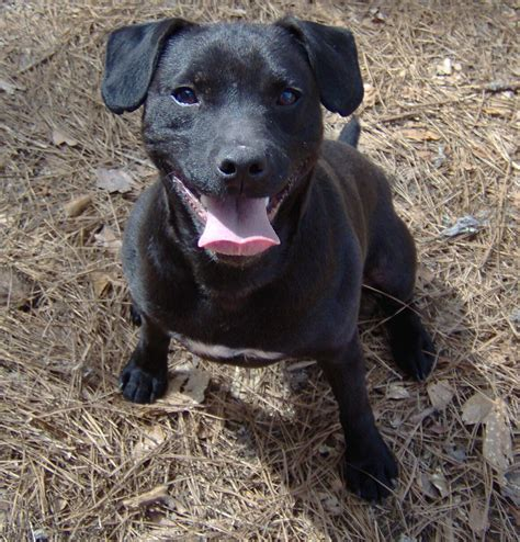 patterdale terrier puppies patterdale terrier photo and wallpaper beautiful patterdale terrier pictures