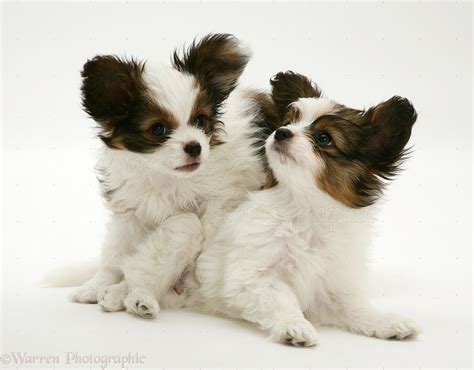 playful puppy dogs playful papillon pups photo wp13998