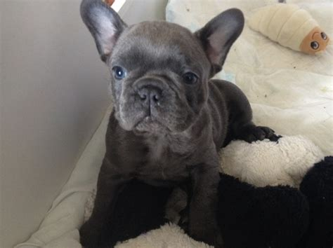 french bulldog for sale uk blue french bulldog puppies for sale x falkirk