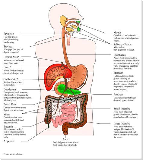 diagram of organs in the organs diagram clipart best