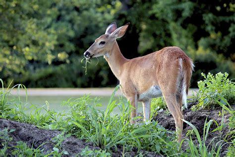 what can i feed deer in my backyard what do deer eat petset com