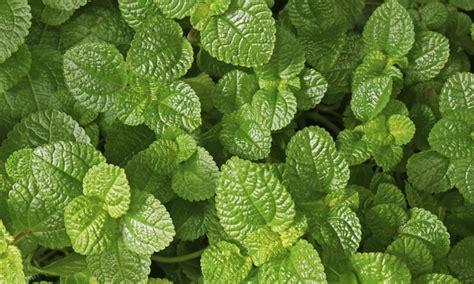 jardin de plantes aromatiques plantes aromatiques entretenir et soigner la pause jardin