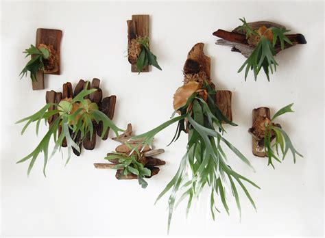 Porch Hangers by Staghorn Ferns Playtcerium Thinking Outside The Boxwood