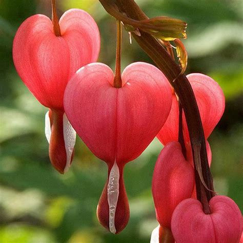 bleeding heart flowers pinterest