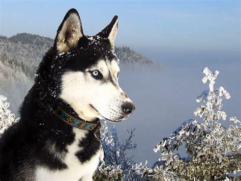 anjing siberian husky  keren