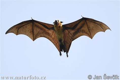 volpe volante biology of animals pteropus giganteus indian flying fox