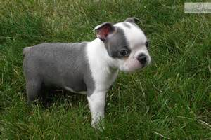 Boston terrier for sale for 1 400 near denver colorado 8a6443b5