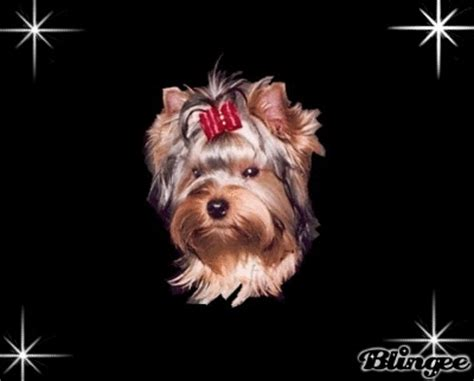 best food to feed a yorkie 1000 images about best food for yorkies on yorkies yorkie and best