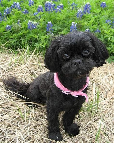shih tzu poodle mix haircut shih poo