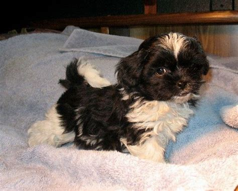 shih tzu peekapoo mix most popular mixed breed dogs peekapoo doggies