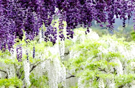 wisteria in japan haute finds wisteria tunnel