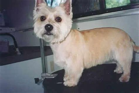 cairn terrier cut styles cairn terrier cut like pinterest