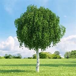 Formal Flower Garden - 25 best ideas about betula pendula on pinterest tree garden garden architecture and formal